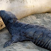 elephant seal pup nursing