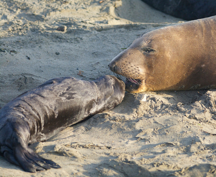 Mother and elephant seal pup