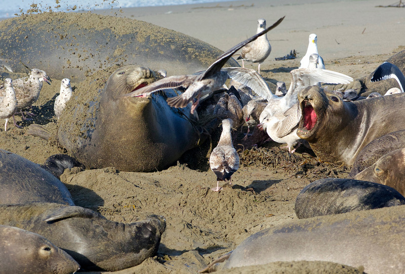 Seagulls swoop in to eat the afterbirth