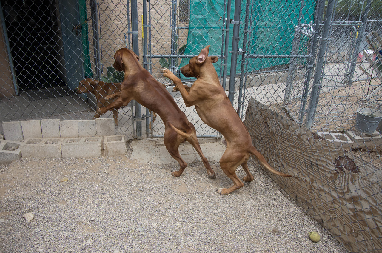 They regularly get to play with two others born at about the same time: a black-nosed male who had the Dermoid Sinus surgery and his sister who has a wide ridge and a crooked tail.  Ajenti up on his hind legs is lighter-colored and shorter-coupled than his brother.