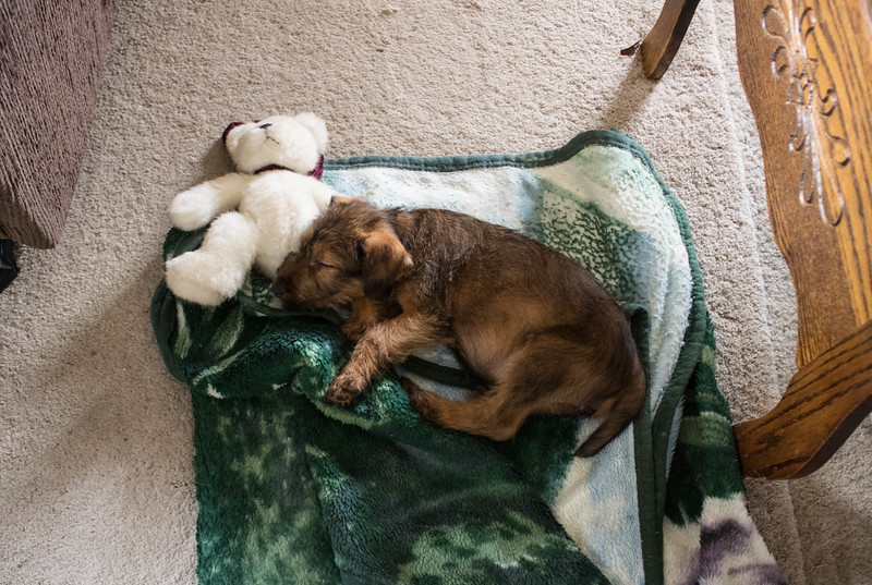 Photos of new puppy, Jessica, the day after we received her:  age 8 weeks 1 day.