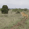 Two lions on the hunt for zebra. Three cubs were back on the other side of the road.