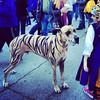 """Tiger Dane #latergram via Instagram <a href=""""http://instagram.com/p/hUZ_c7x-ug/"""">http://instagram.com/p/hUZ_c7x-ug/</a>"""
