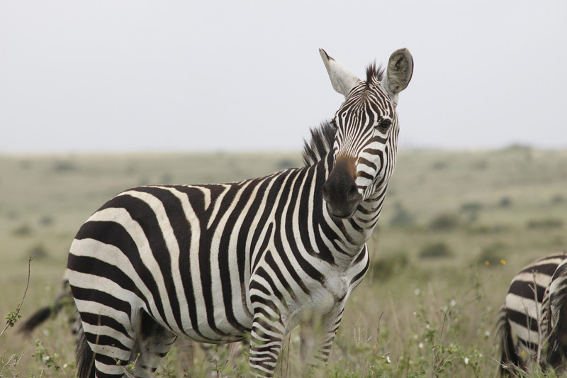 This zebra was NOT one of those for whom the lions were hunting!