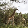 Four of the more than two dozen giraffes we saw at the nature park.