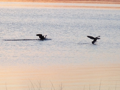 These two Canadian geese just happened to fly in right around sunset time, as you can see by the color of the water. They just floated around and we chased them all the way down the beach until our fingers were frozen and there was no sun left.
