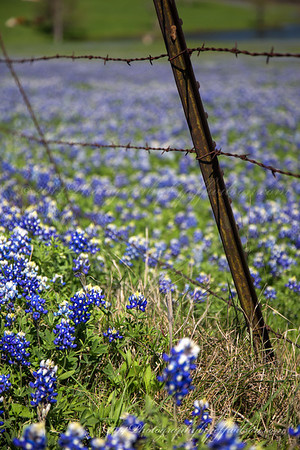 Ennis Bluebonnet Trails 2014