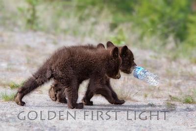 Black Bear Cubs with discarded hate bottle, Jasper National Park