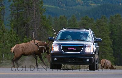 Elk attacking vehicle, Jasper National Park Canada