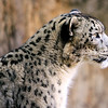 The elusive Snow Leopard (Panthera uncia) lives at an altitude of between 9,000 and 15,000 feet in Asia's rocky mountain ranges. Due to their secretive behavior exact numbers are uknown, but it is estimated that between 3,500 and 7,000 live in the wild. There are about 650 in captivity, with this one photographed in the Santa Barbara Zoo.