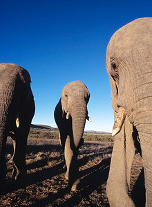 Three young elephant bulls get up close and uncomfortable on a walking safari. As large as they appear, these will likely have doubled their weight by the time they reach sexual maturity.  Elephant walking safaris have become increasingly popular in South Africa, but 'interaction' has become a tourist euphimism for 'feeding,' the practice resulting in a few serious incidents and some controversy.