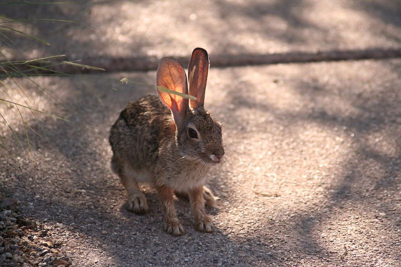 A small desert cottontail at the Sonoran Desert Museum.