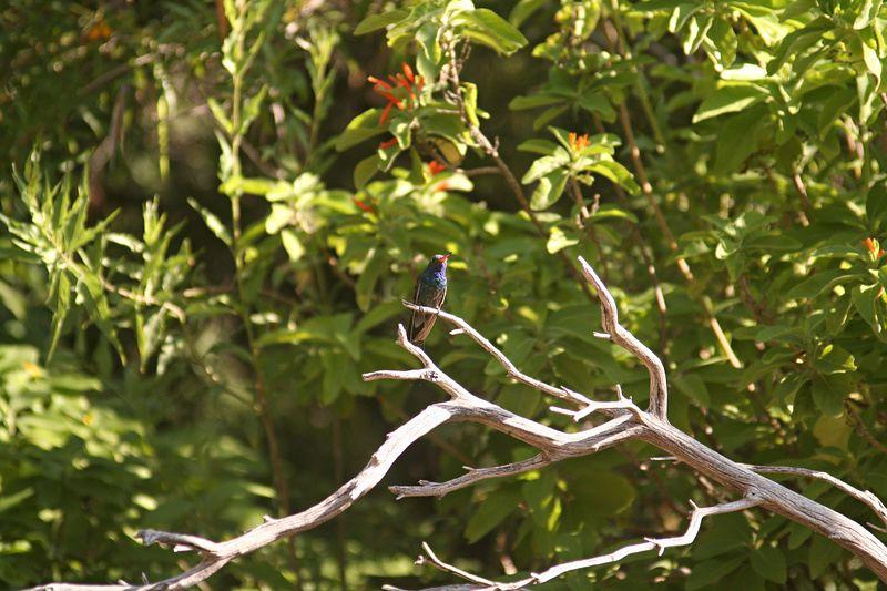 Wee little humming bird.