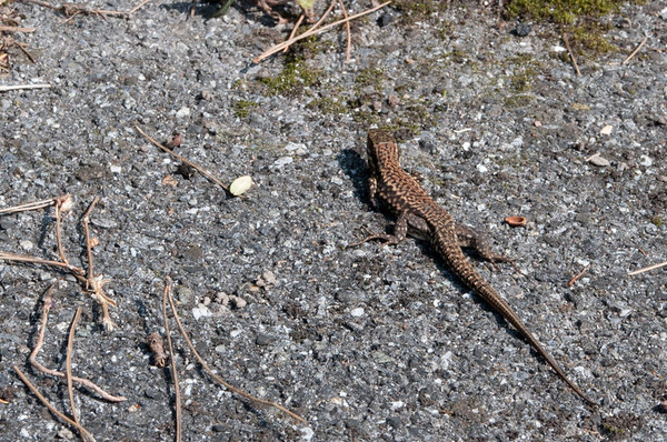 We found lizards near Lake Geneva!  Crazy!  They fought, too, which was very entertaining to watch.