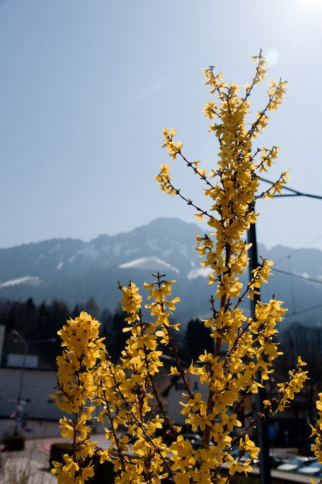 Forsythia is in bloom everywhere in Europe.  We were surprised at how much forsythia there is here in Europe.