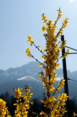 Forsythia is in bloom everywhere in Europe.