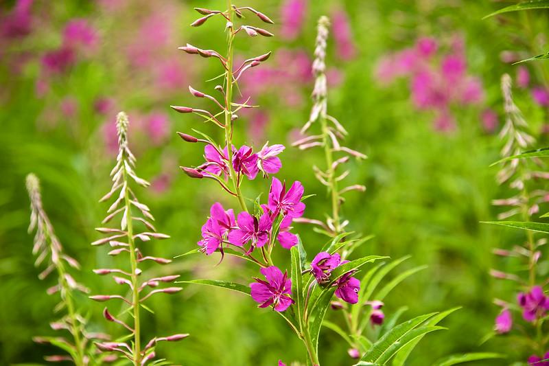 Swiss wildflower meadow.