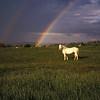 White_Horse-2