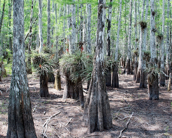 This area would normally be submerged under a couple of feet of water - you can see the water line on the tree trunks.  It's a rough year in the Everglades - local flora and fauna are struggling to survive until the rain comes.