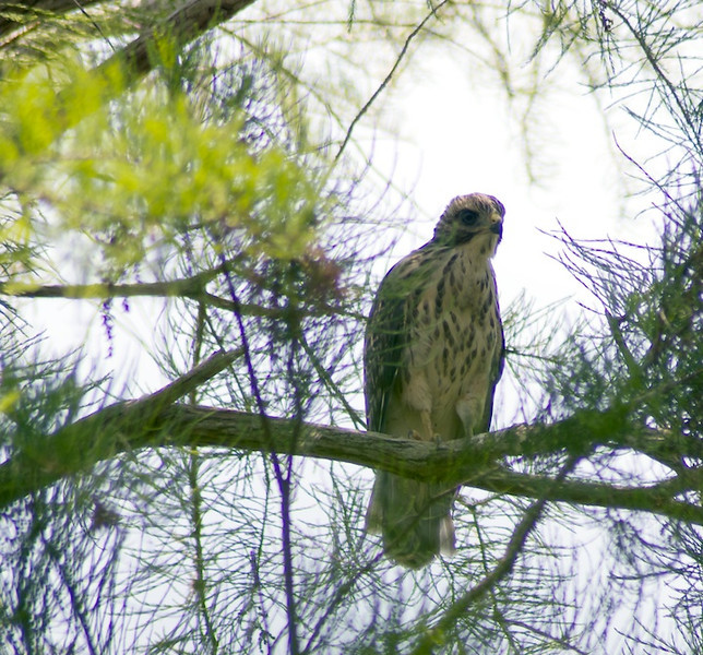 I wish I could remember what kind of hawk this was.