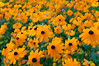 "Black Eyed Susans<br /> First attempts at ""Photographic-Impressionism"""