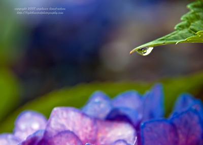 Drop of hydrangea