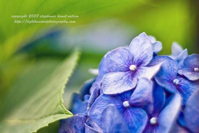 Hydrangea with Leaf Bokeh