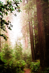 Of Fairy Mist and Redwood Trees