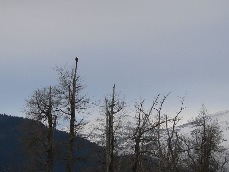 Immarature eagle atop tree near Portage Valley