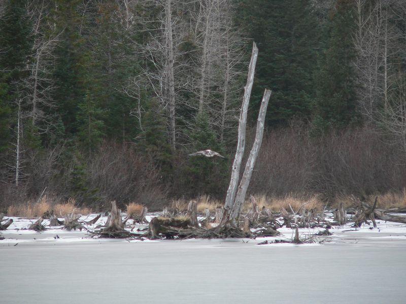 Immature eagle soaring a few feet above the ice