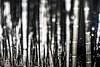 bamboo grove - 竹林