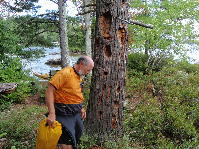 "LAKE WINNIPESAUKEE... Spider Drew checking out the ""Woodpecker Tree"""