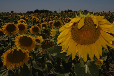 Sunflowers of Tuscany MK