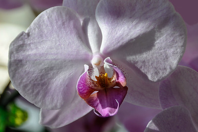 Alvina's Orchid BR