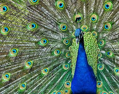 Peacock JF