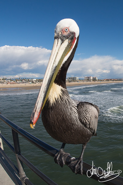 Brown Pelican taking a rest on the pier