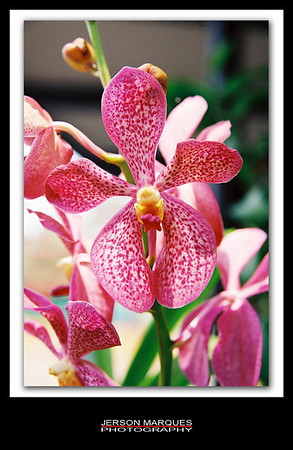 ORCHID-4