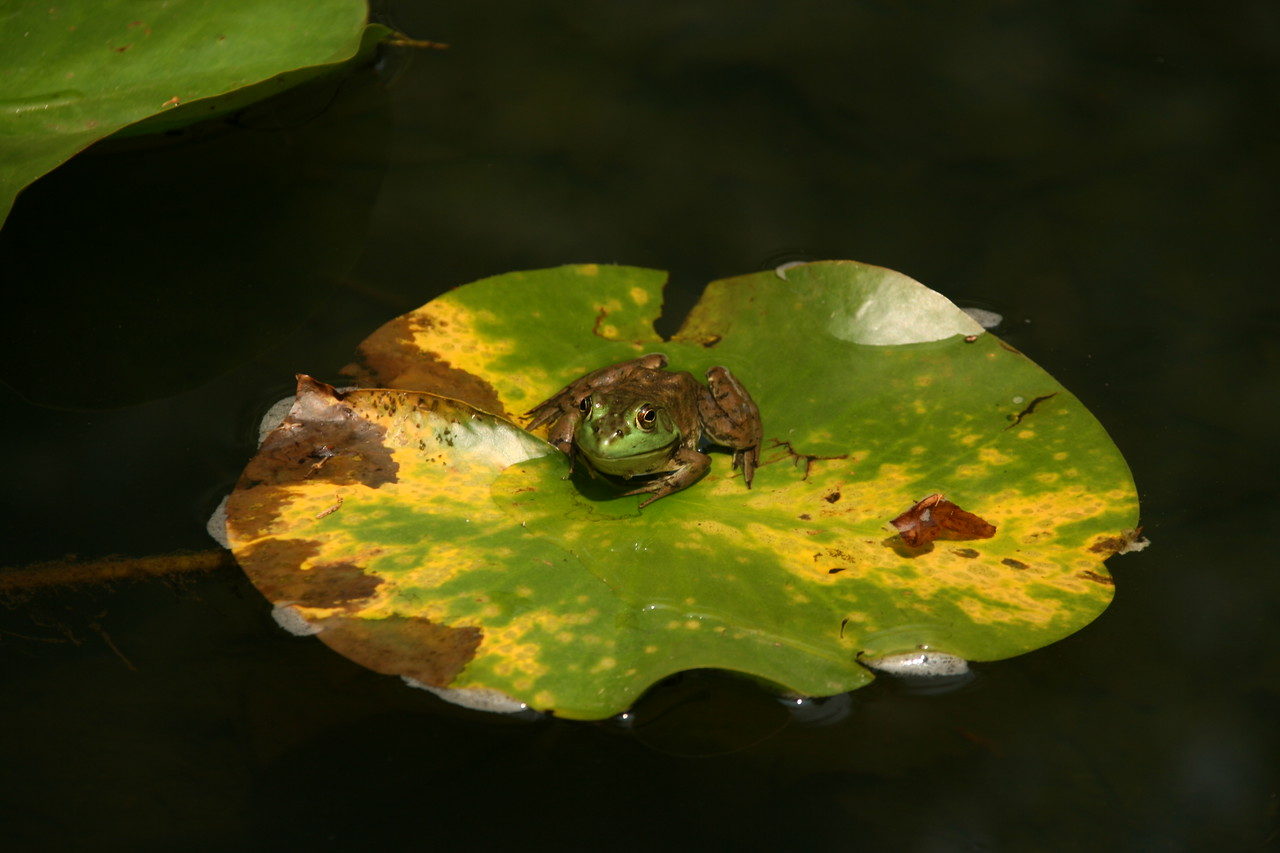 Frog on the Lily Pad