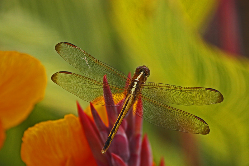 Widow Dragonfly on colorful flower