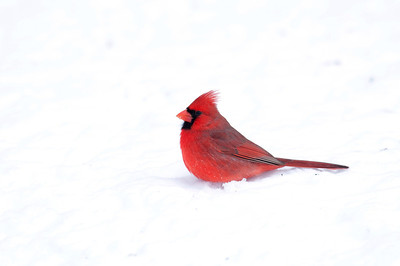 A northern cardinal sits in snow following a heavy winter storm