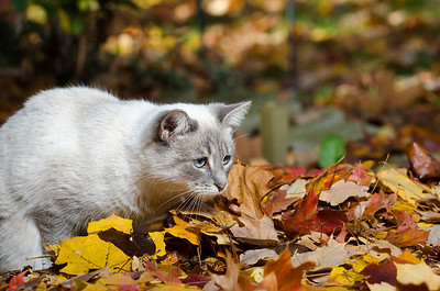 Cute white cat sitting in a pile of colorful leaves