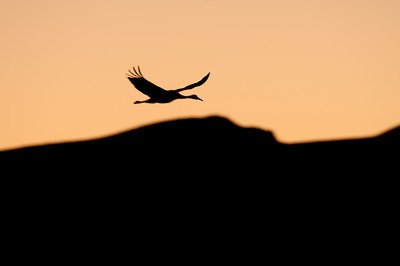 evening silhouette of sandhill crane in flight over mountains