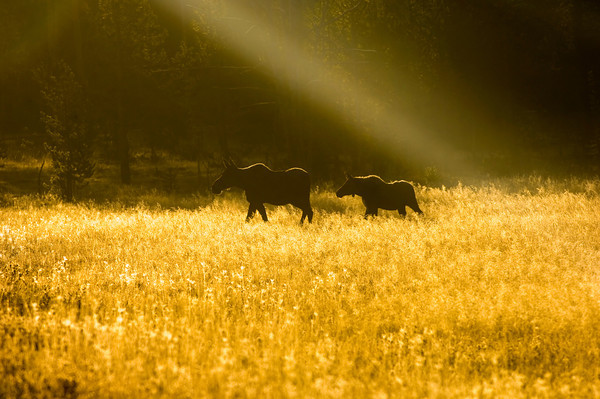 A moose and its calf are silhouetted in an open meadow at first light on a hazy morning in Yellowstone