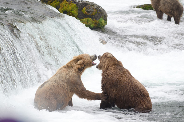 Two Alaskan brown bears fight at Brooks Falls in Katmai National Park