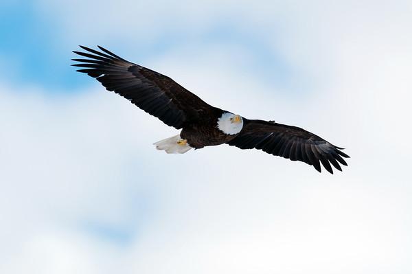 A bald eagle soars through the sky