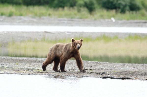 An Alaskan brown bear walks along the shore line of a like in Katmai National Park