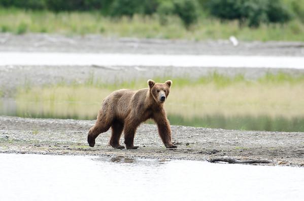 An Alaskan brown bear walks along the shore line of a like in Katmai National Park