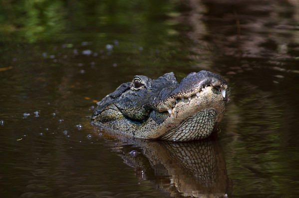 A large American alligator lifts its head out of the water in a Florida swamp