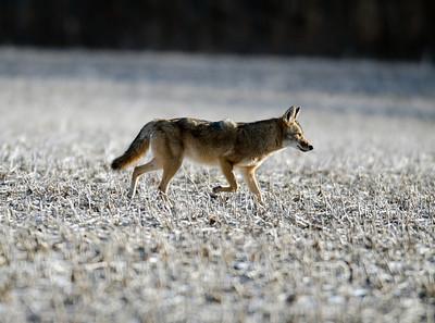 Coyote running through an open farm field