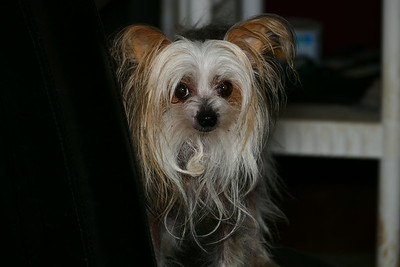 My little dog Tiny.  She was posing for me.